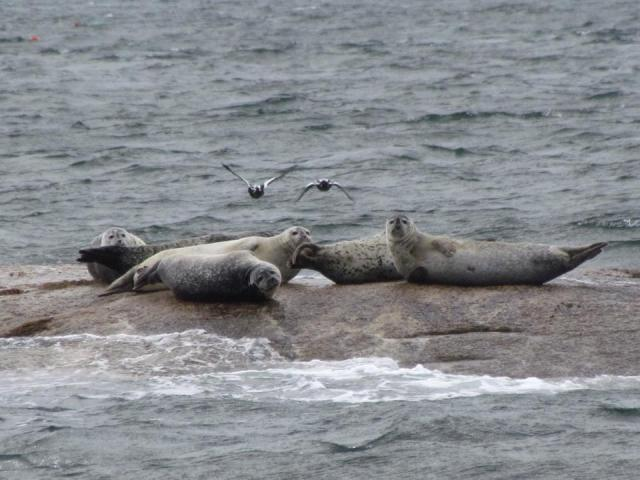 Best-Wildlife-Laura-McGerigle-Seals-on-the-Rocks.jpg